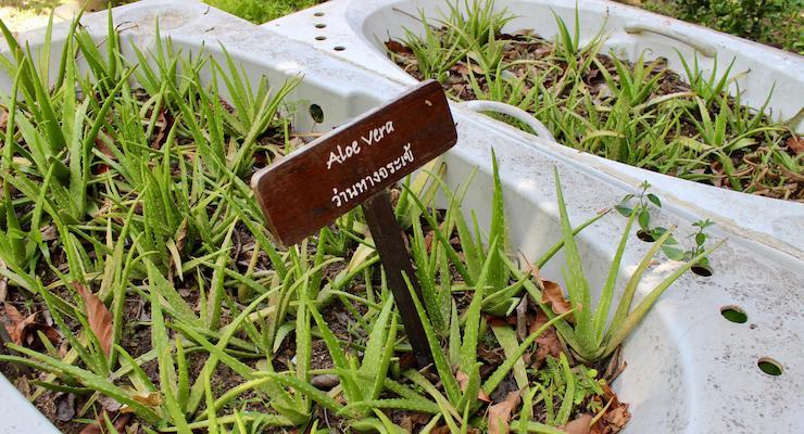 Aloe vera growing in an old bathtub, The Tongsai Bay organic garden. Copyright Gretta Schifano