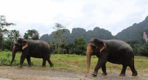 Two elephants walking, Elephant Hills, Thailand. Copyright Gretta Schifano