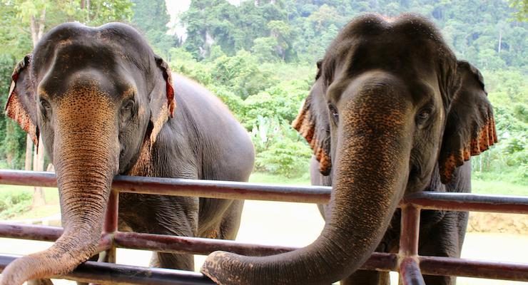 Elephant feeding time, Elephant Hills, Thailand. Copyright Gretta Schifano