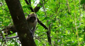 Long-tailed macaque in the mangroves, Thailand. Copyright Gretta Schifano