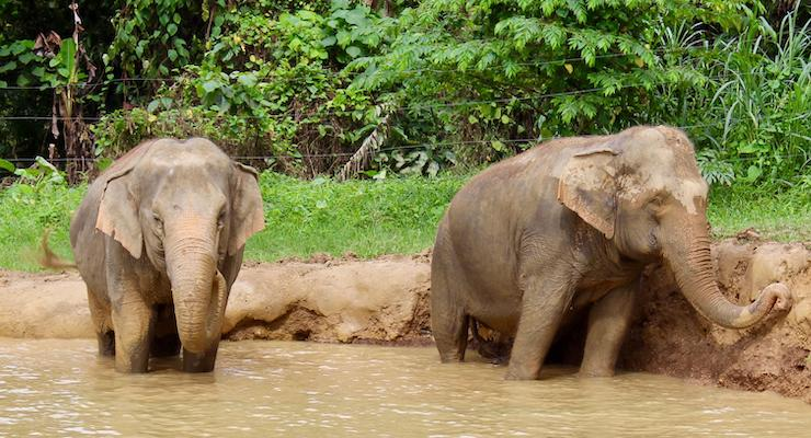 Elephants at the water hole, Elephant Hills, Thailand. Copyright Gretta Schifano