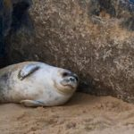 Seal pup by the rocks, Winterton beach, Norfolk. Copyright Gretta Schifano