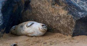Seal pup by the rocks, Winterton beach, Norfolk. Copyright Gretta Schifano