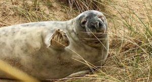 Seal waving, Winterton beach, Norfolk. Copyright Sally Edwards