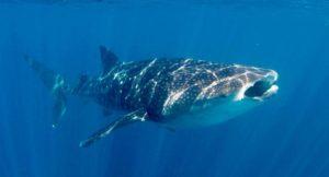Whale shark at Ningaloo reef, Australia. Copyright Max Rolt Bacino