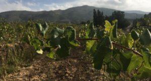 Tunisian vineyard. Copyright Kirstie Pelling.