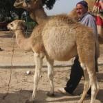 Baby camel, Tangiers. Copyright Gretta Schifano