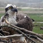 Dyfi Osprey Project. Image courtsy of Montgomeryshire Wildlife Trust.